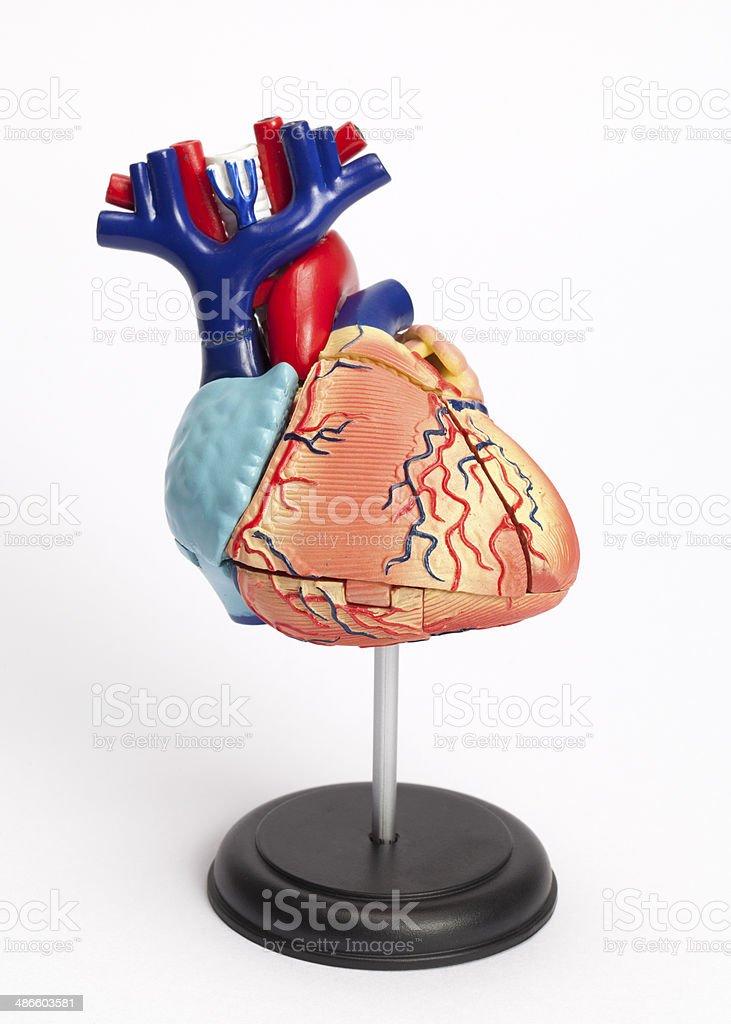 Anatomical model of human heart stock photo