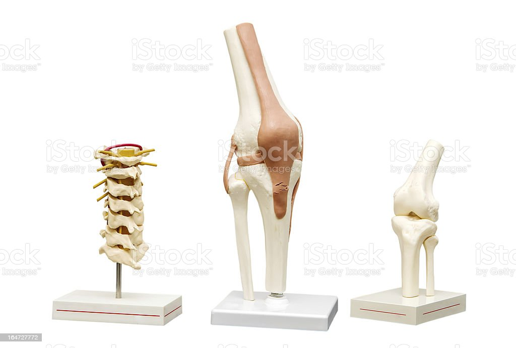 Anatomical models of the joints royalty-free stock photo