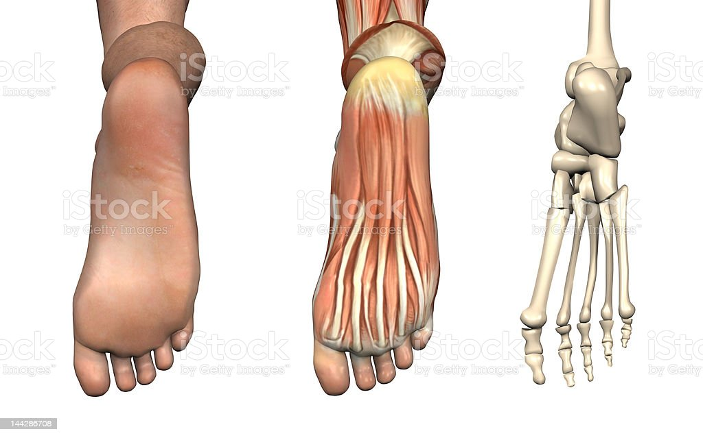 Anatomical Overlays - Bottom of the Foot stock photo