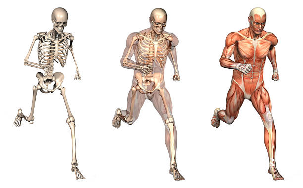 anatomical overlays - man running front view - human skeleton stock photos and pictures