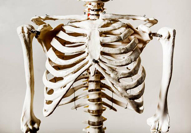 Anatomical Skeleton - Rib Cage Anatomical Skeleton Series human rib cage stock pictures, royalty-free photos & images