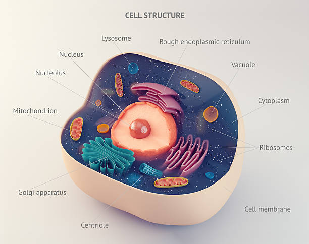 Anatomical structure of animal cell stock photo