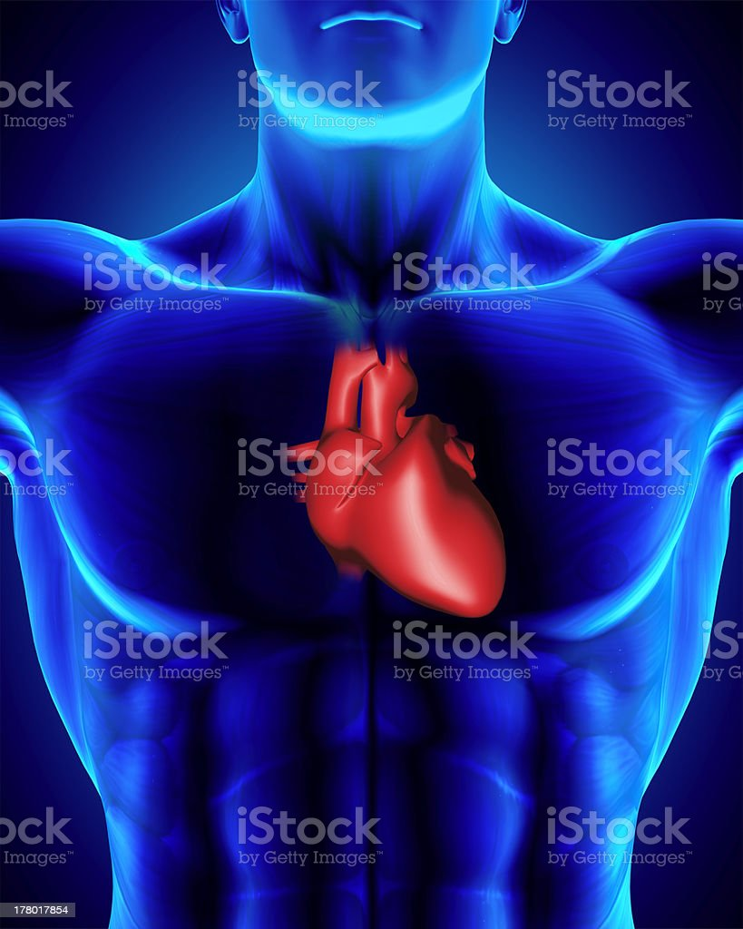 Anatomically correct human heart/torso with clipping path stock photo