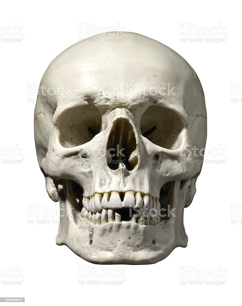 Anatomically correct medical model of the human skull stock photo