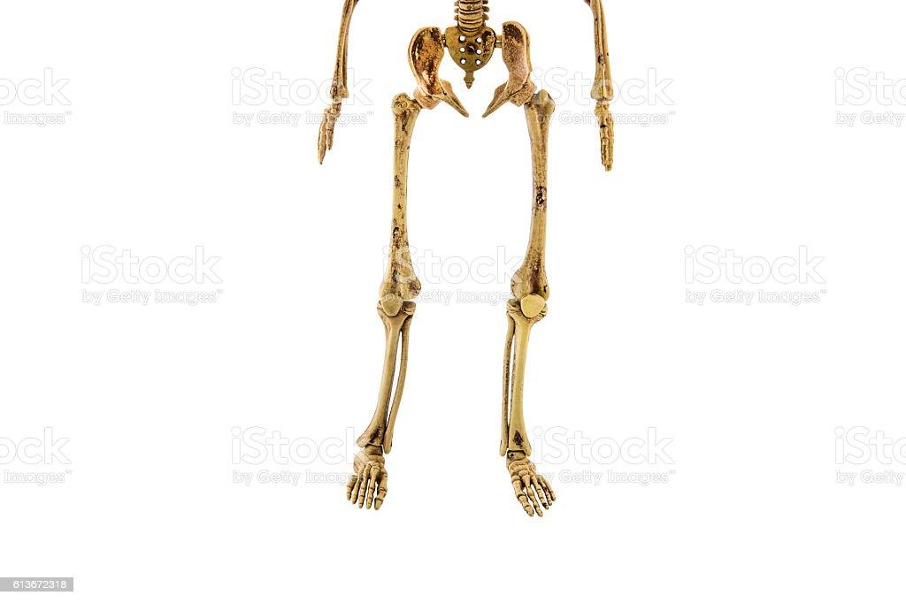 anatomy back lower body human skeleton isolated stock photo