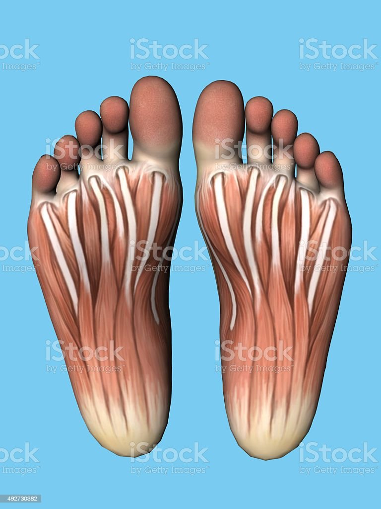 Anatomy Bottom View Of Foot Stock Photo & More Pictures of 2015 | iStock