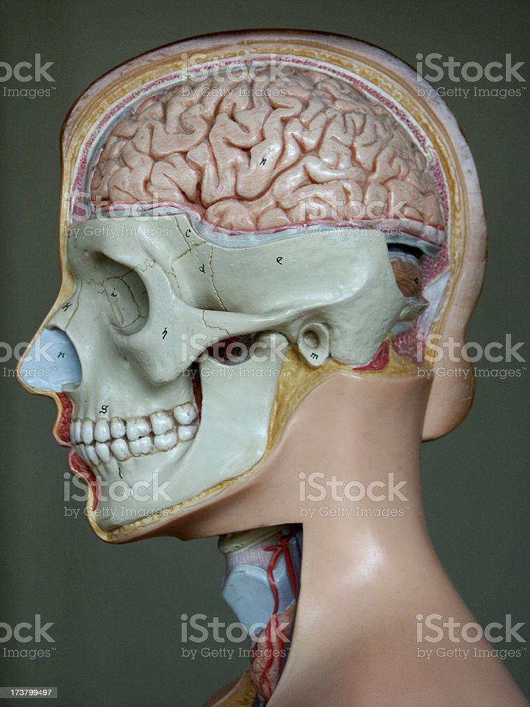 Anatomy Brain 01 royalty-free stock photo