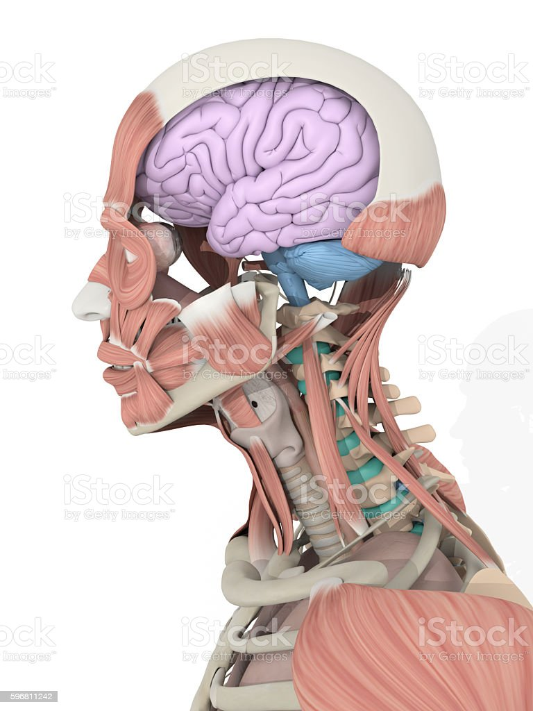 Anatomy Color Coded Brain Inside Skull 3d Illustration Stock Photo ...