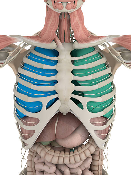 Anatomy color coded lungs inside rib cage. 3d illustration. Anatomy color coded lungs inside rib cage. 3d illustration. human rib cage stock pictures, royalty-free photos & images