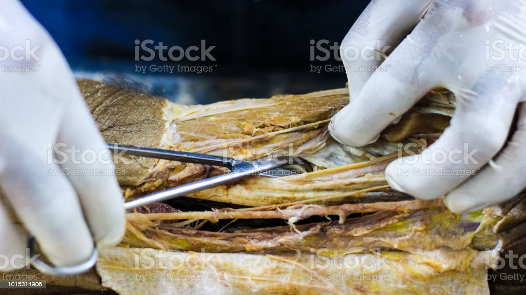 Anatomy Dissection Of A Cadaver Showing Adductor Canal Using Scalpel