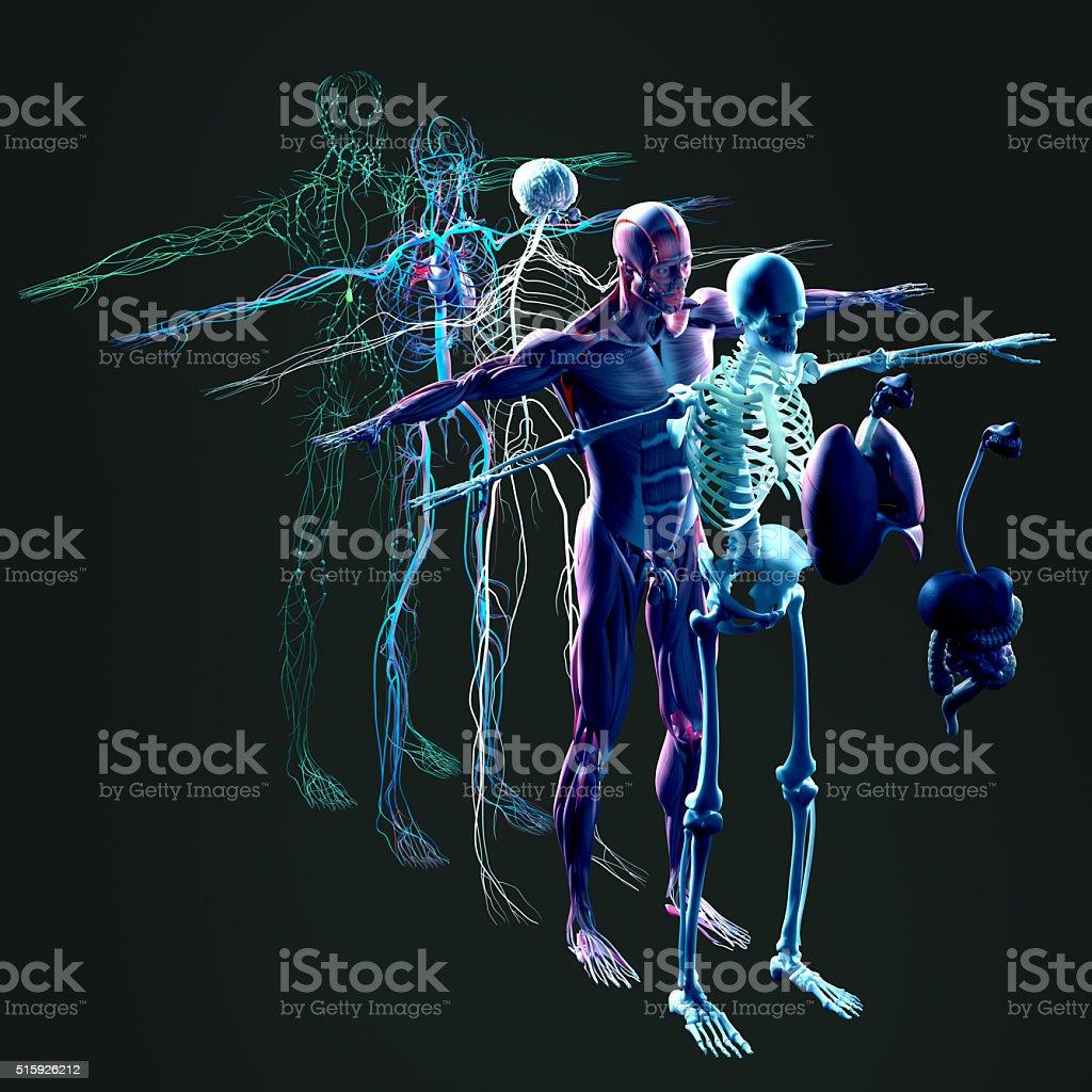 Anatomia explodiu modo de exibio separado elementos msculos ossos anatomia explodiu modo de exibio separado elementos msculos ossos rgos doenas do sangue ccuart Gallery