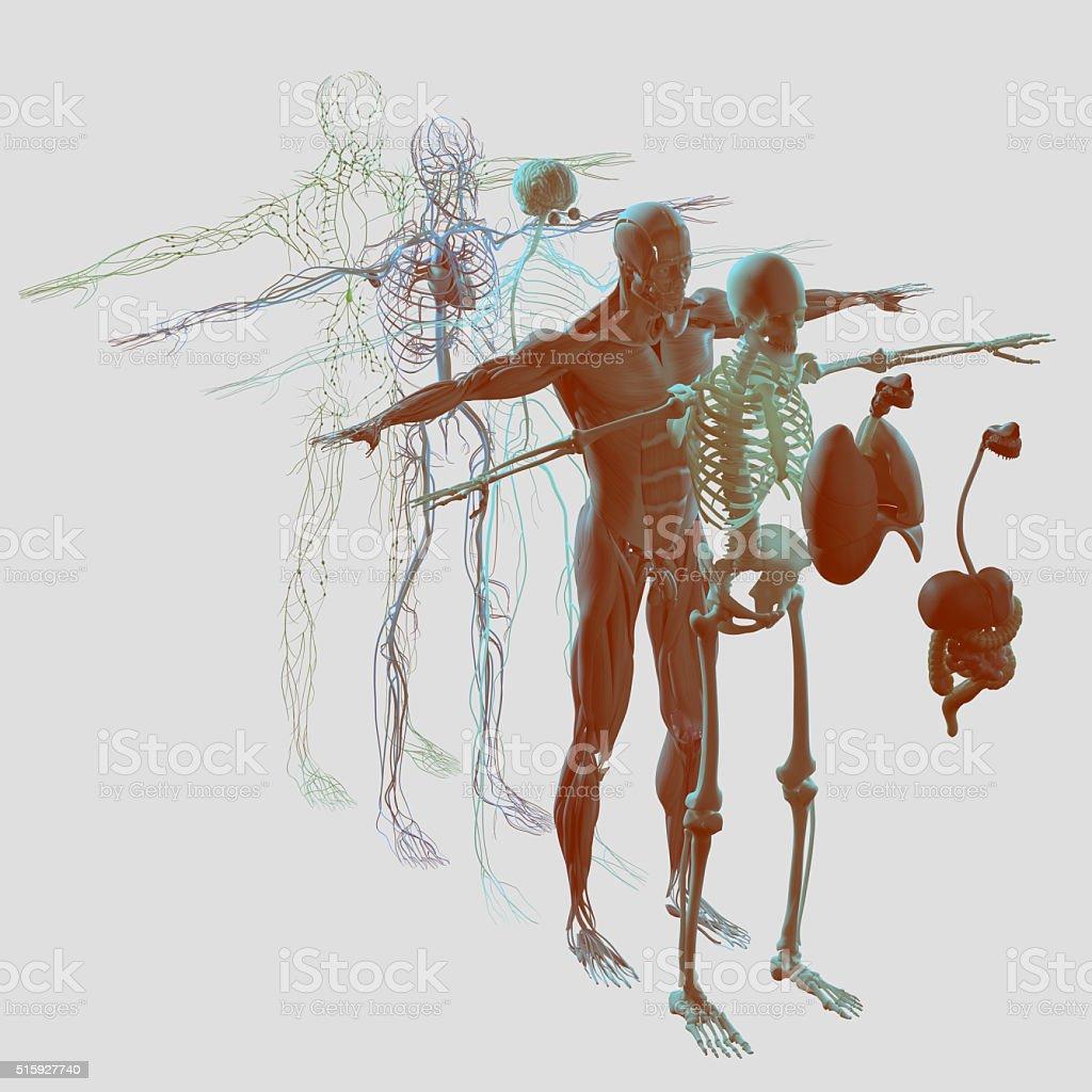Fotografía de Anatomía Explotó Ver Separado Elementos Músculo Hueso ...