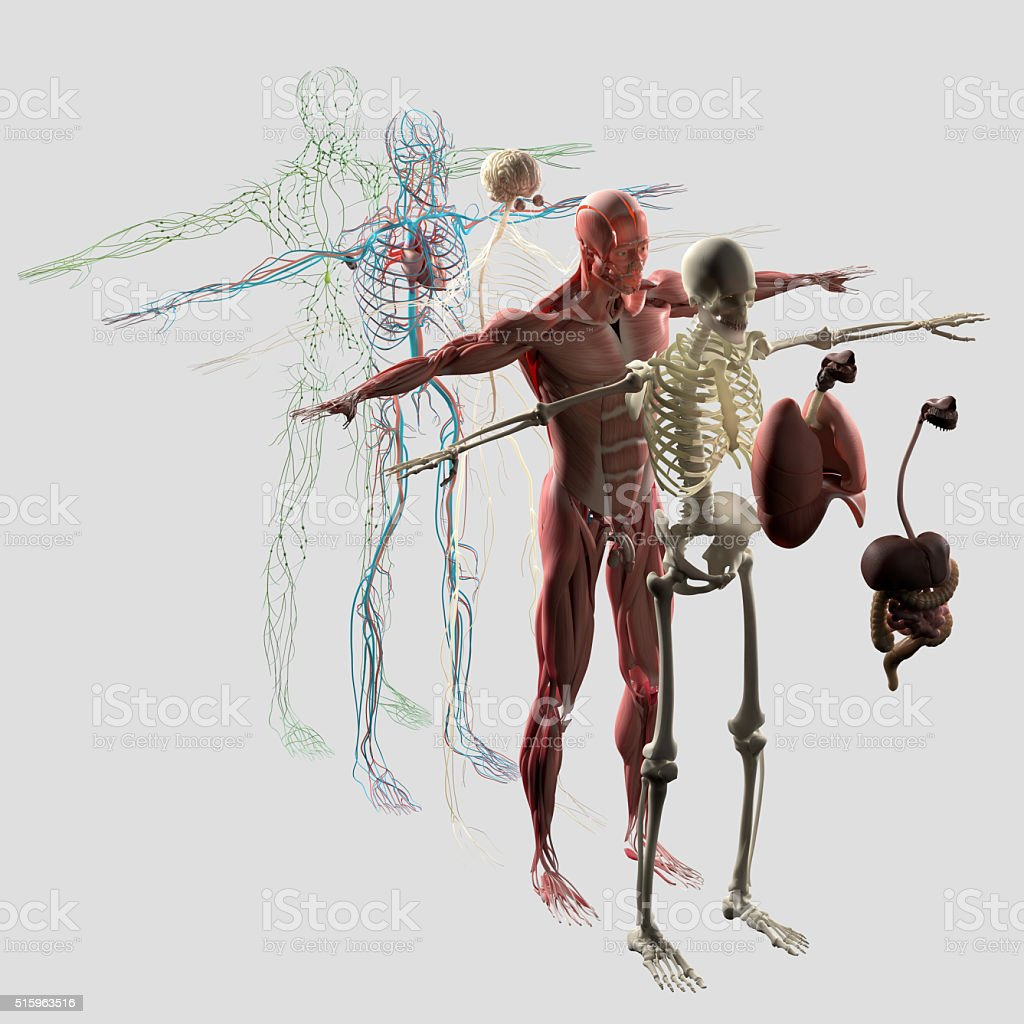 Anatomy exploded view.Separate elements muscle,bone,organs,nervous,lymphatic,vascular. royalty-free stock photo