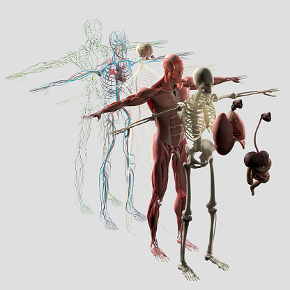 istock Anatomy exploded view.Separate elements muscle,bone,organs,nervous,lymphatic,vascular. 515963516