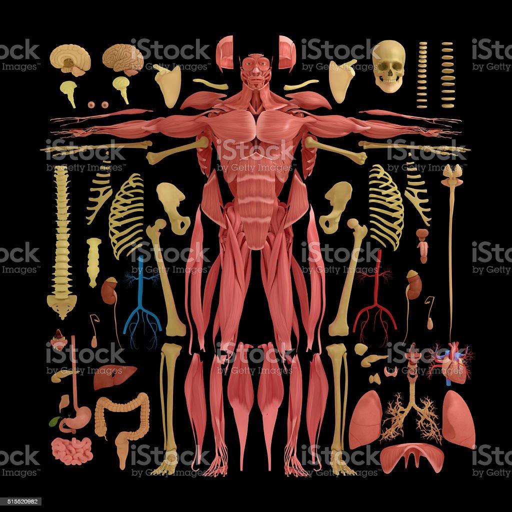 Anatomía Pone Medio Plana Cuerpo Piezas Knolling - Fotografía de ...