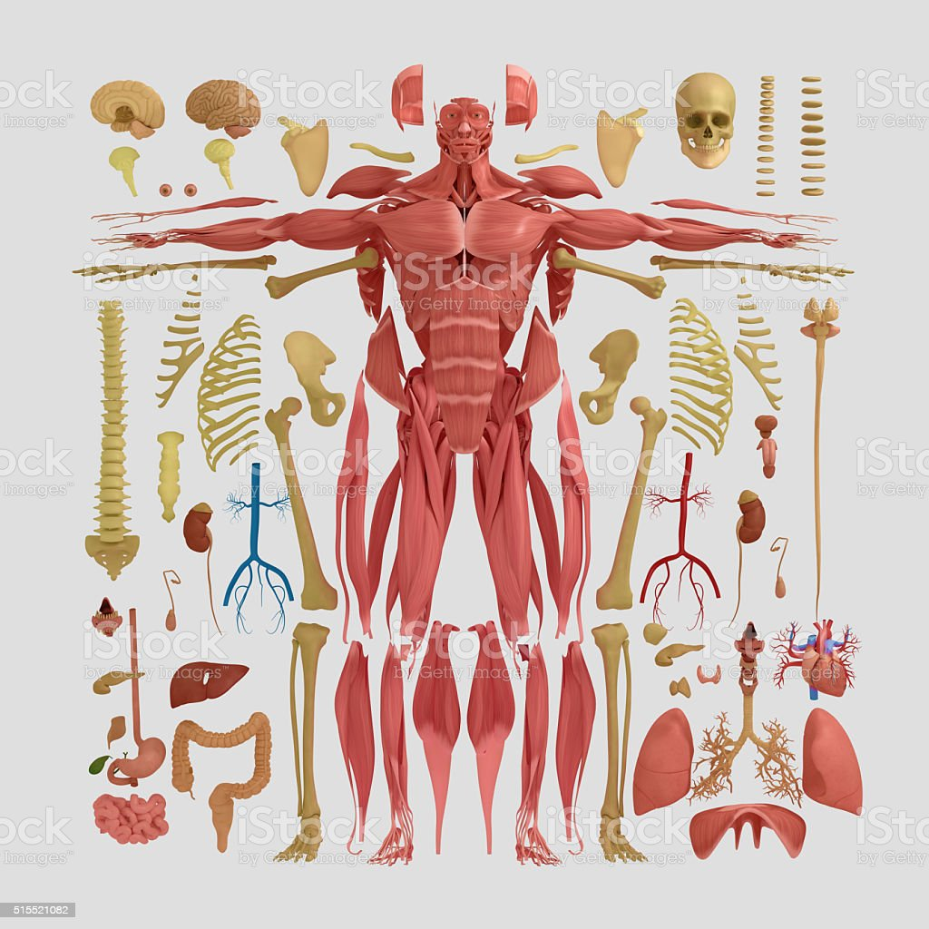 Human anatomy flat lay illustration of body parts. Parts and shapes...