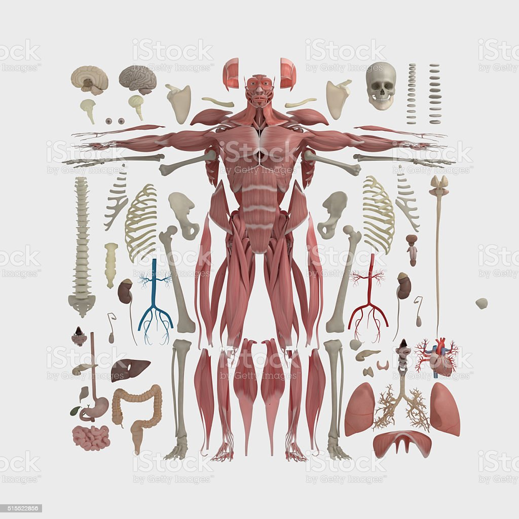 Anatomy flat lay illustration,body parts.Knolling. stock photo