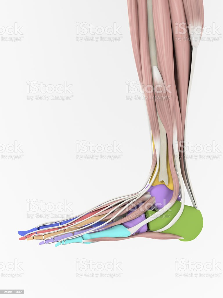 Anatomy Foot Bones And Muscles 3d Illustration stock photo 596811302 ...