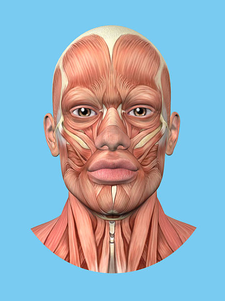 Royalty Free Facial Muscles Pictures, Images and Stock Photos - iStock