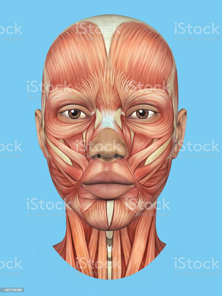 Anatomy Front View Of Major Face Muscles Stock Photo & More Pictures ...