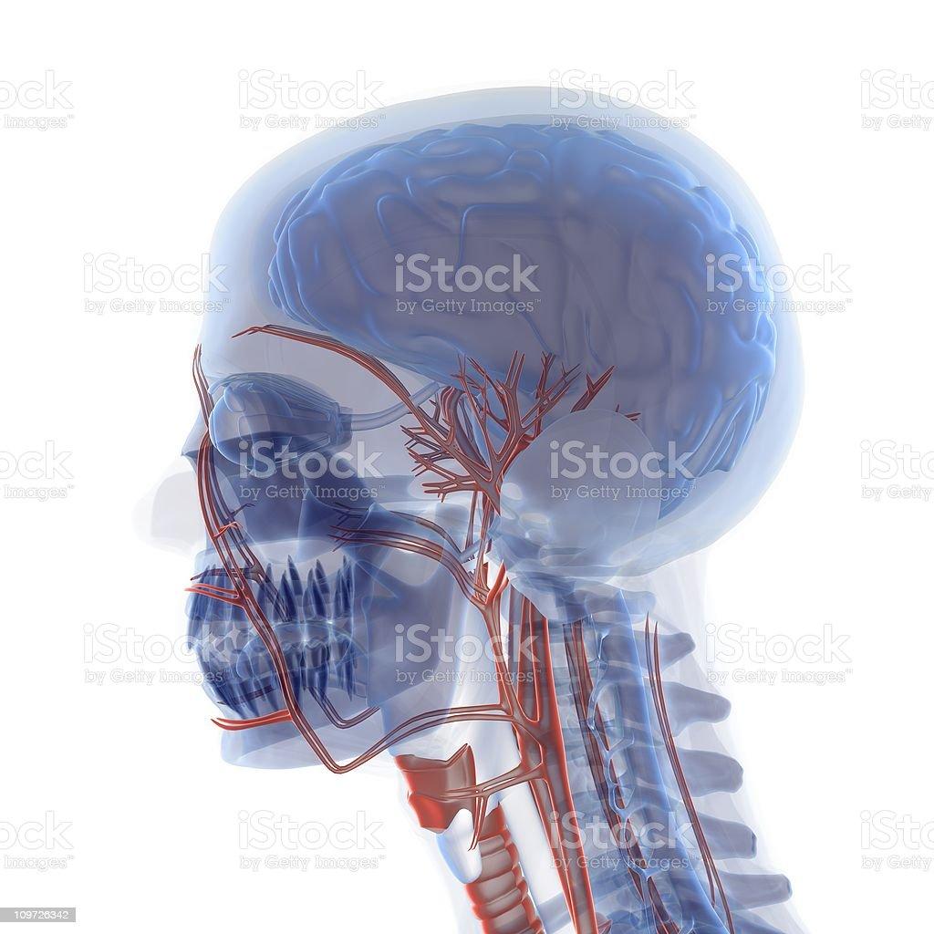 Anatomy Head royalty-free stock photo