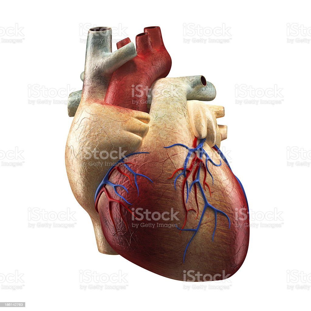 Anatomy Heart Isolated on white royalty-free stock photo