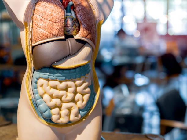 modelo de anatomia humano - tronco termo anatômico - fotografias e filmes do acervo