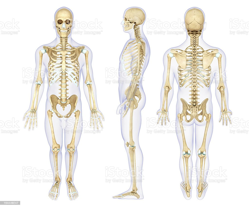 Anatomy illustration of a human skeleton royalty-free stock photo