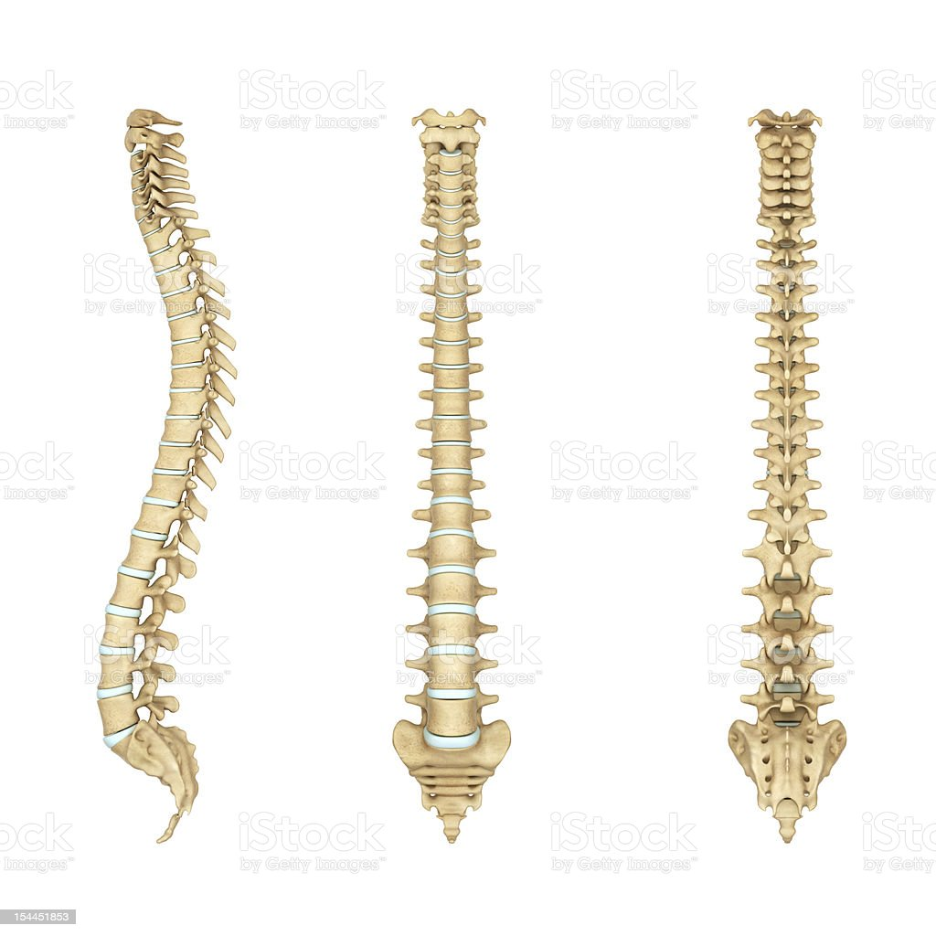 Anatomy illustration of a human spine stock photo