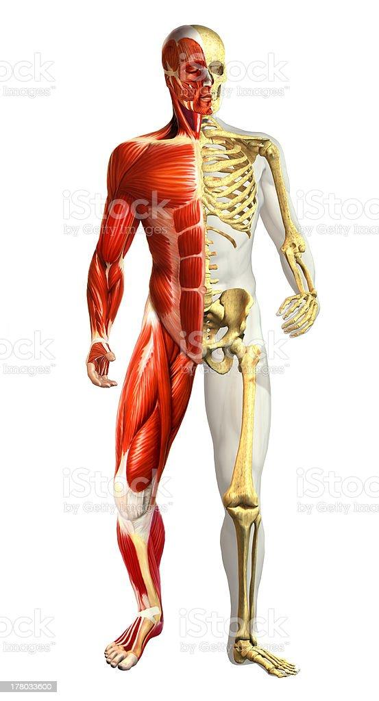 Fotografía de Anatomía Ilustración De Hombre Con La Mitad De Los ...