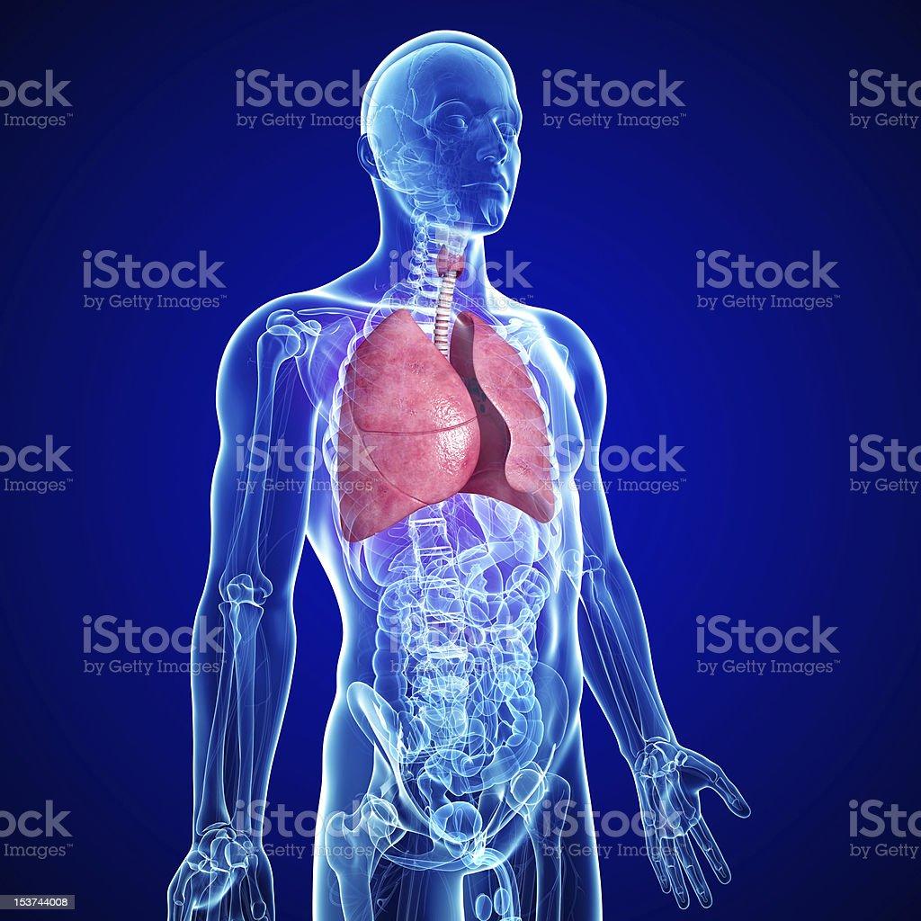 Fotografía de Anatomía Hígado De Sexo Masculino y más banco de ...