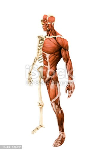 anatomy male model isolated on white background 3d illustration