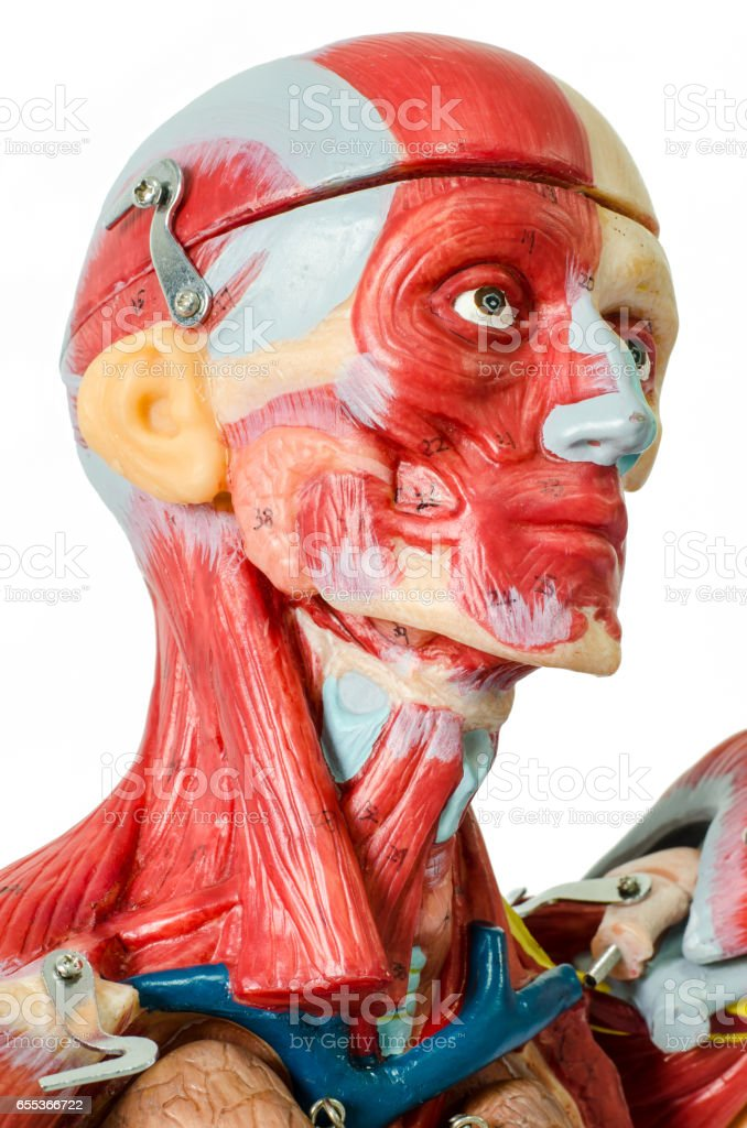 Anatomy model of human face and neck muscle stock photo