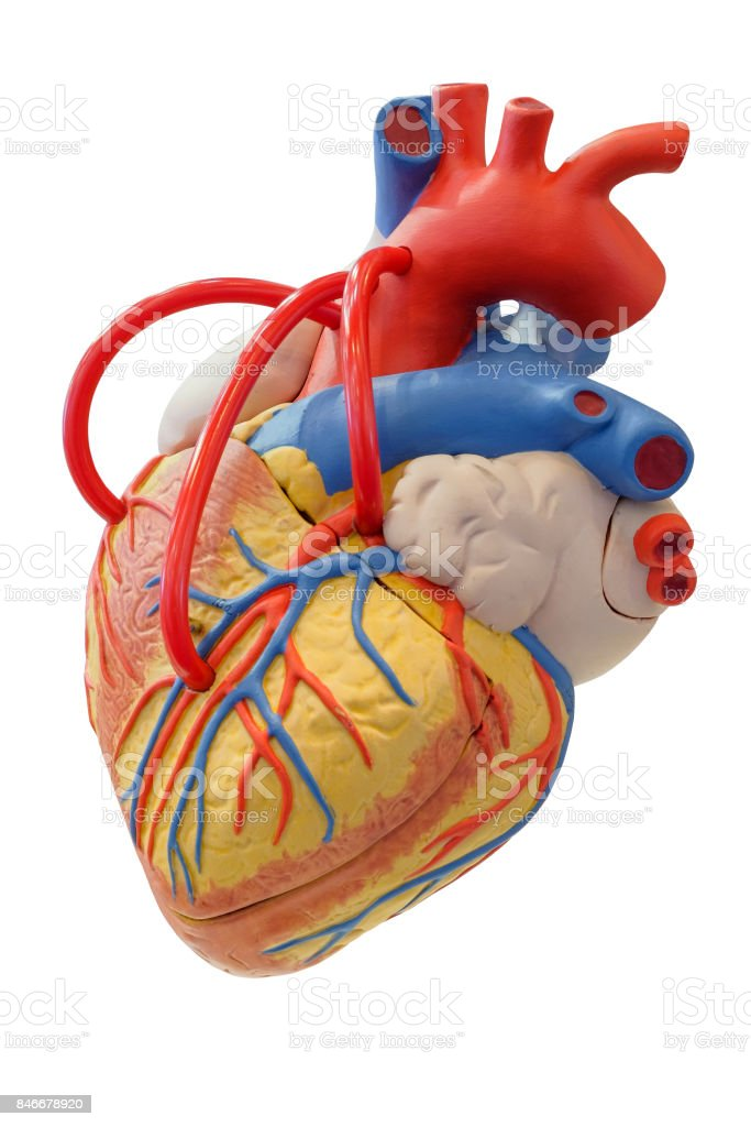 Anatomy model of the cardiovascular system stock photo
