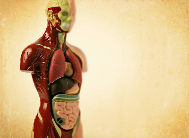 anatomy model stock photo