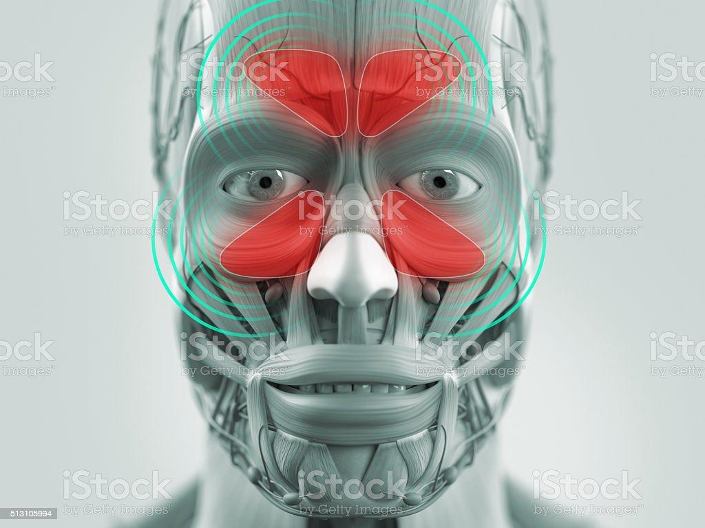 Anatomy model showing sinus infection. stock photo