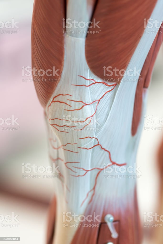 Anatomy muscle Legs model of muscle for classroom education. stock photo