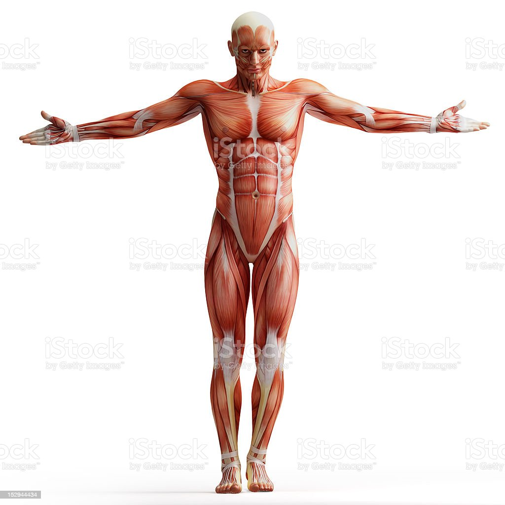 Fotografía de Anatomía Humana De Los Músculos y más banco de ...
