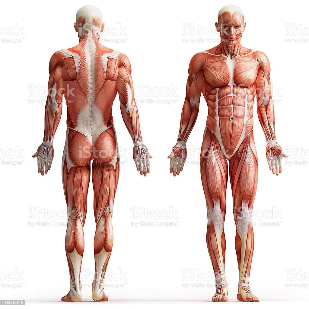 anatomy, muscles royalty-free stock photo