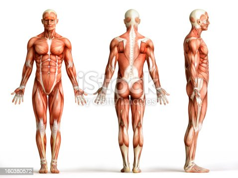 istock anatomy, muscles 160380572
