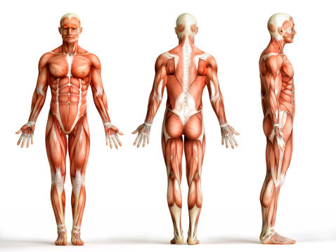 muscul, muscule, muscle humain