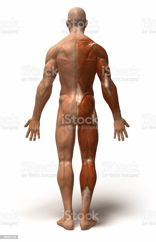 Anatomy : muscles royalty-free stock photo