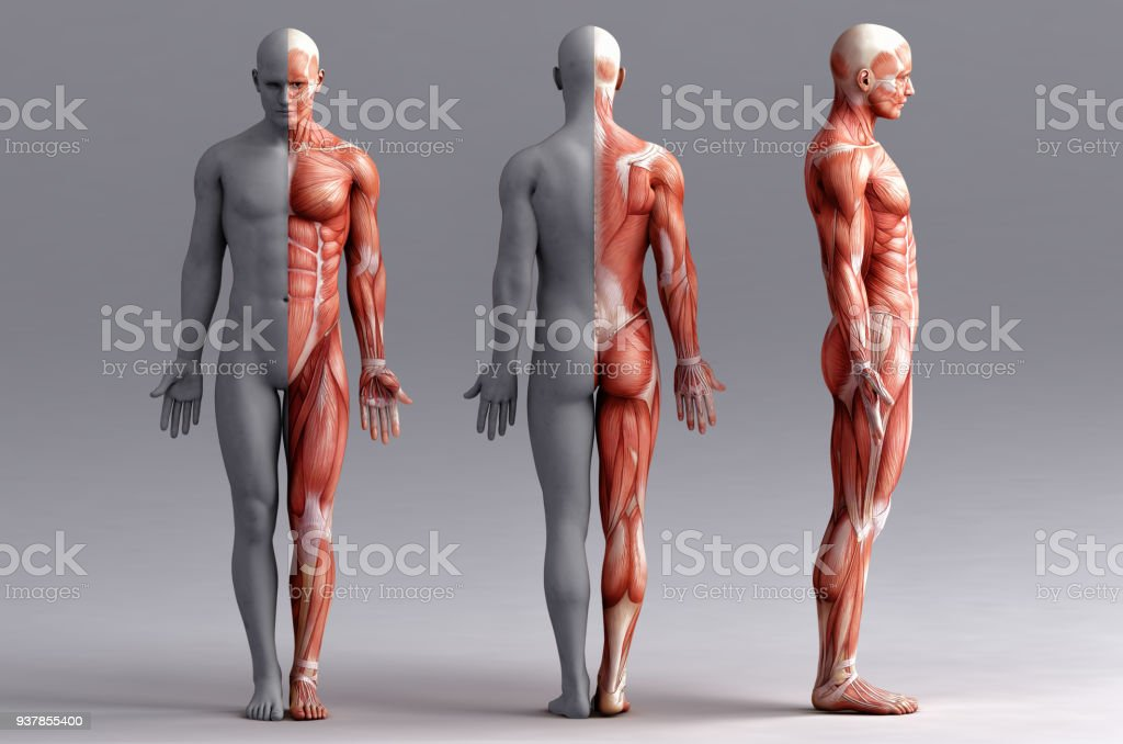 Anatomy Muscles Stock Photo More Pictures Of Adult Istock