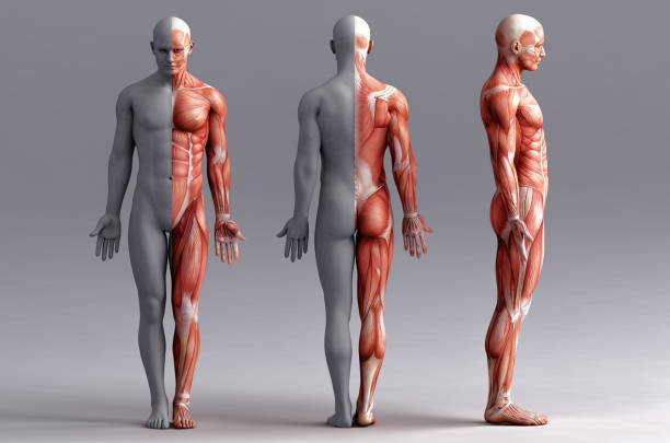 anatomy, muscles stock photo