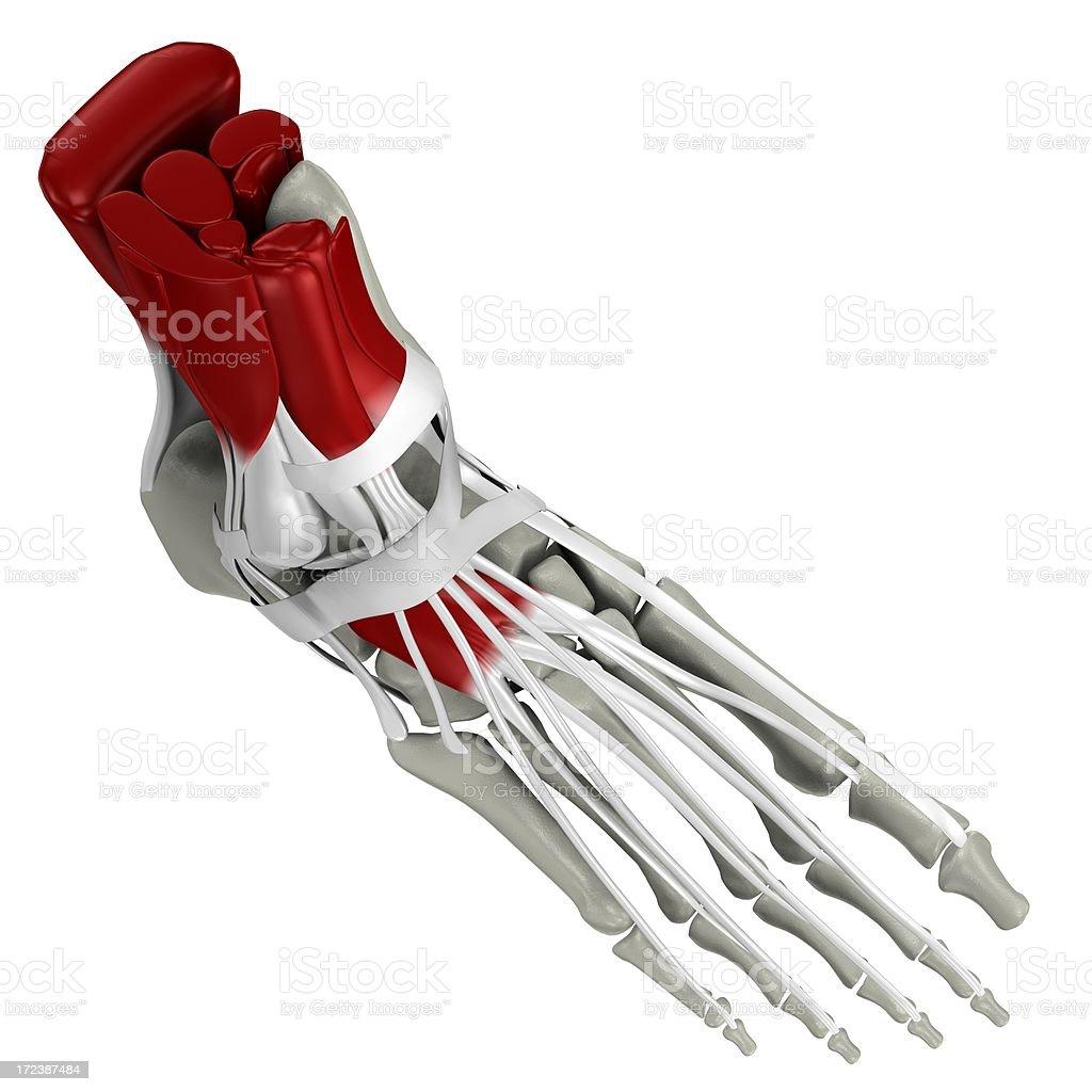 Anatomy of a human foot royalty-free stock photo