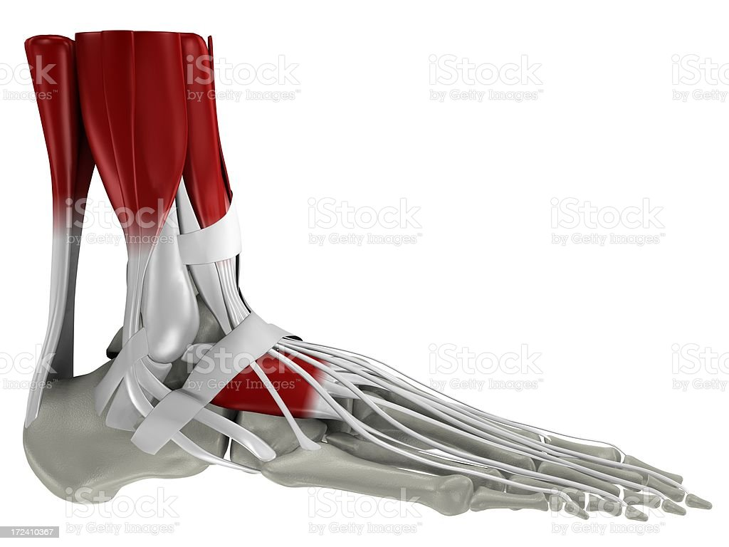 Anatomy of a human foot stock photo