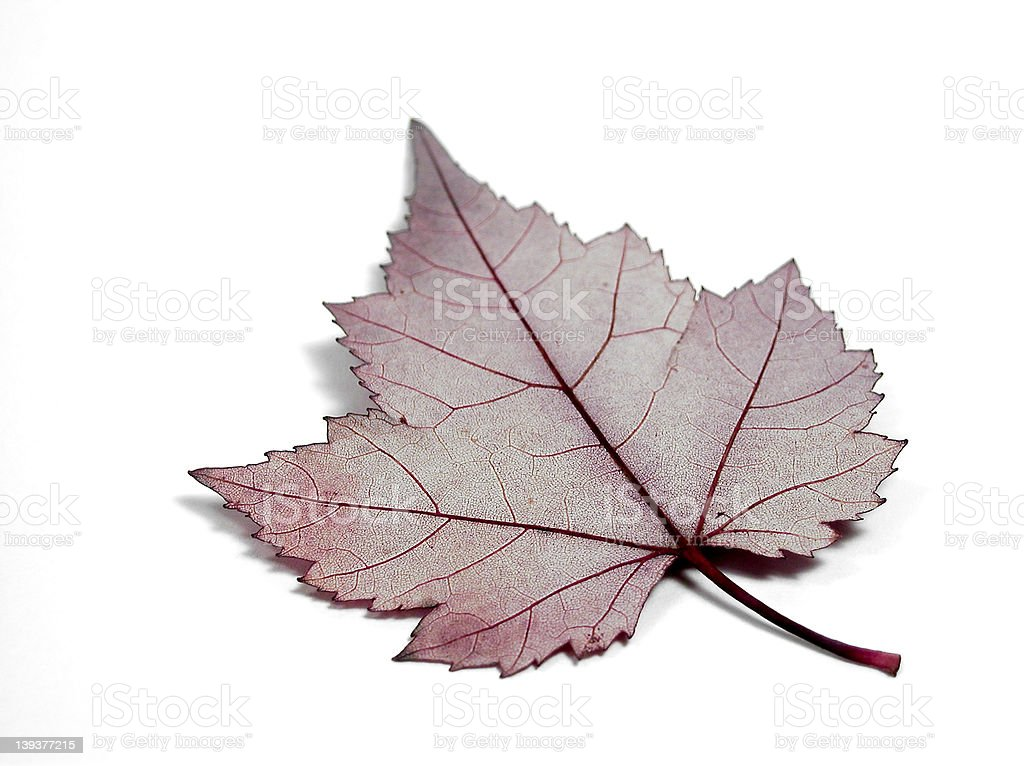 Anatomy of a Leaf royalty-free stock photo