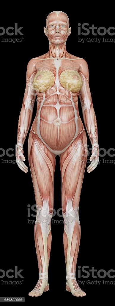 Anatomy Of A Pregnant Woman Stock Vector Art & More Images of ...