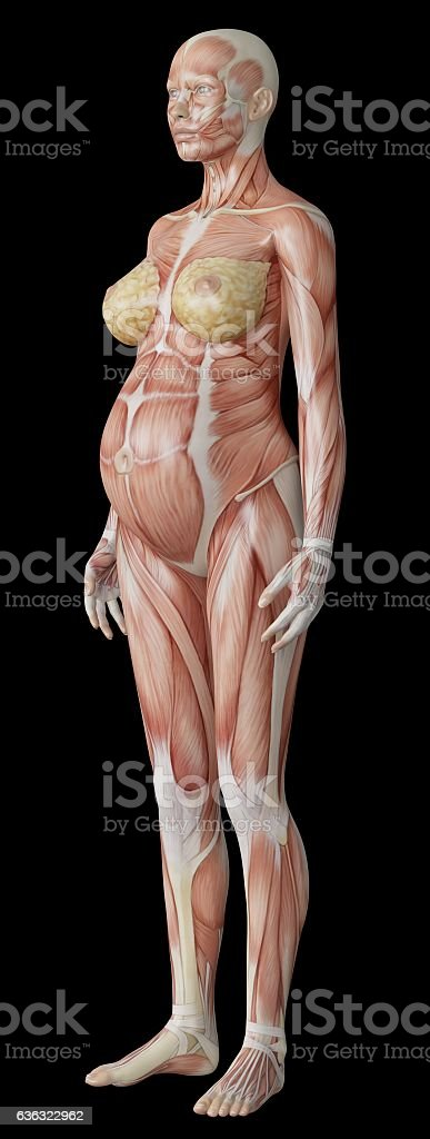 Anatomy Of A Pregnant Woman Stock Photo More Pictures Of Anatomy