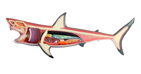 Plastic great white shark toy